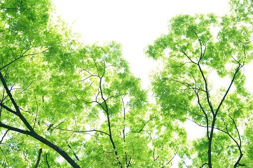 葉 緑  新緑  日本  自然 植物 屋外 壁紙 背景 背景素材 バックグラウンド 光 青空 環境 エコ   さわやか 爽やか 初夏 森 森林 木  快晴 木々 空