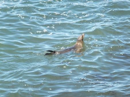 野生 動物 生き物 アシカ 海 お休み 夏 海岸 カリフォルニア サンディエゴ ラホヤ アメリカ 海外 西海岸 のんびり 休日 泳ぐ 水泳 浮かぶ ぷかぷか すいすい プカプカ スイスイ