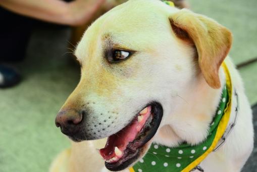 盲導犬 犬 やさしい 動物 先導 愛情 付添う 可愛い 生き物 介護 手助け 従う 従順 一緒 感動 いぬ 眼差し まなざし 大型犬 ひとみ イヌ 賢い 訓練 おとなしい 愛らしい しつけ 助ける