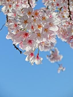 桜 さくら sakura サクラ 花びら アップ 接写 マクロ 青空 満開 春 白 空半分 日差し 晴れ 卒業 入学 成長 思い出 植物 花 枝 そら 自然 風景 景色 季節 開花 明るい ピンク 可憐 余白 アート撮影 コピースペース