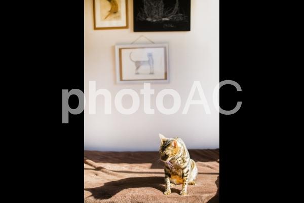 日向ぼっこするベンガル猫と猫の絵の写真