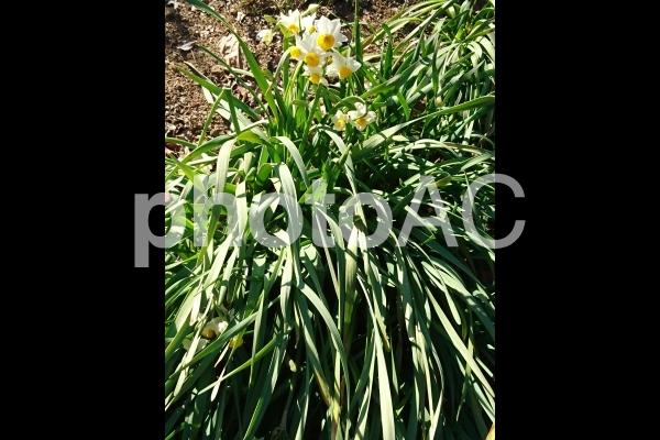 スイセン 水仙の花の写真