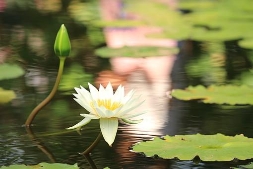 植物園 自然 植物 池 蓮池 草花 草 葉 葉っぱ 伸びる 浮かぶ ハスの葉 熱帯 熱帯植物 観察 花 ハス 蓮 蓮花 白い花 蕾 つぼみ 仏 ロータス ヨガ