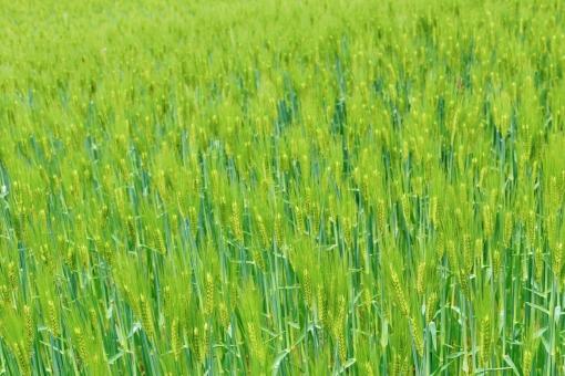 麦畑 青麦畑 青い 青い麦 畑 青い畑 緑 緑色 緑の畑 麦 麦の穂 穂 グリーン green 若々しい 若い 伸び伸び のびのび 元気 春 四月 4月 たくさん 密集 自然 植物 風景 景色 景観 壁紙 テクスチャ 素材
