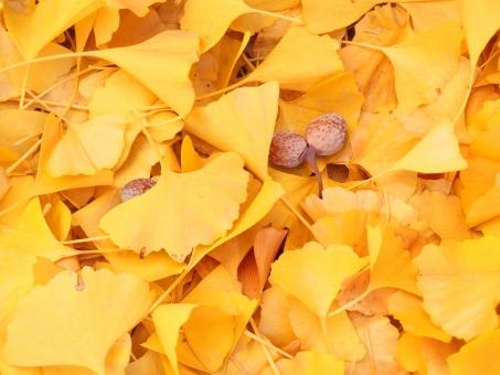 銀杏 いちょう 落ち葉 黄色 イチョウ ぎんなん ギンナン 紅葉 色づき 秋 果実 くさい おいしい