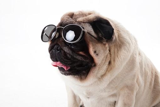 ポーズ 動物 生物 生き物 哺乳類 ほ乳類 犬 いぬ イヌ ドッグ 小型犬 パグ 皮膚 パグ しわしわ シワシワ かわいい 可愛い サングラス おすわり お座り バストショット バストアップ 白背景 白バック グレーバック 十二支 干支 戌