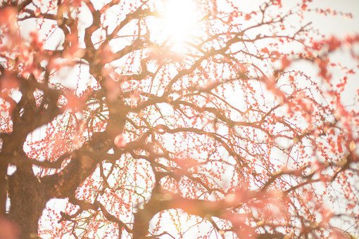 自然 植物 花 花びら ピンク色 桃色 梅 多い 沢山 密集 集まる 成長 育つ 満開 開花 咲く 開く 枝垂れ 垂れる ぼやける ピンボケ アップ 加工 空 太陽 太陽光 陽射し 光 木漏れ日 眩しい グラデーション 無人 室外 屋外 風景 景色 ローアングル 幹 枝 曲がる 春 幻想的
