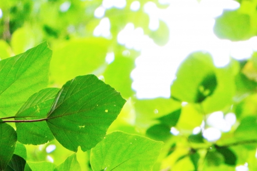 葉 葉っぱ 木の葉 リーフ leaf 緑 緑色 グリーン green 若葉 若葉色 陽射し 日差し 植物 若い 若々しい 爽やか スッキリ すっきり 自然 風景 景色 景観 壁紙 テクスチャ 背景 素材 青い 青い葉 青い葉っぱ 緑の葉っぱ 緑色の葉っぱ 気持ちいい 気持ち良い 黄緑 黄緑色 イエローグリーン yellowgreen 夏 真夏 涼しい 涼やか 涼しさ 涼 癒し 優しい 優しさ