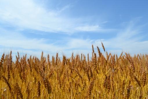 麦 ムギ むぎ 麦畑 黄金色 ゴールド 空 青空 雲 麦芽 ビール 夏 一杯