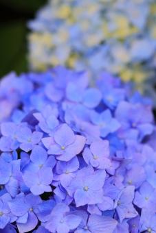 アジサイ 紫陽花 あじさい 花 植物 マクロ 拡大 余白 ピンク 紫 6月 雨 梅雨 色合い 湿度 天気 パステル 接写 縦位置 ガクアジサイ 青