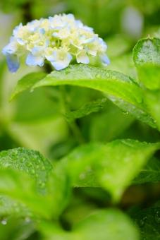 アジサイ 紫陽花 植物 花 白 葉 梅雨 マクロ 縦位置 余白 雨 雨天 湿度 田植え 水滴 クリア