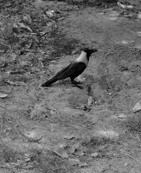 白黒 モノクロ 鳥 とり トリ 野鳥 小鳥 動物 鳥類 小動物 野生 屋外 外 バードウォッチング 自然 植物 環境 羽根 くちばし 地面 カラス 横顔 横向き 空き地 砂