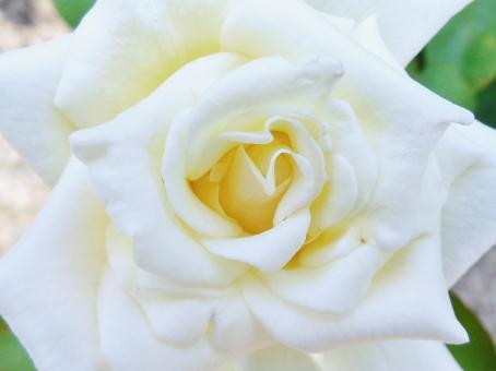 薔薇 バラ バラ科 花 花びら 白 白い ホワイト white 植物 香り 芳香 芳香剤 綺麗 きれい キレイ 美しい 可憐 華やか 艶やか 爽やか クローズアップ ローズ rose 一輪 一本 大輪 しなやか 淑やか しとやか 品格 気品 鮮やか 自然 風景 景色 壁紙 背景 テクスチャ 素材 公園