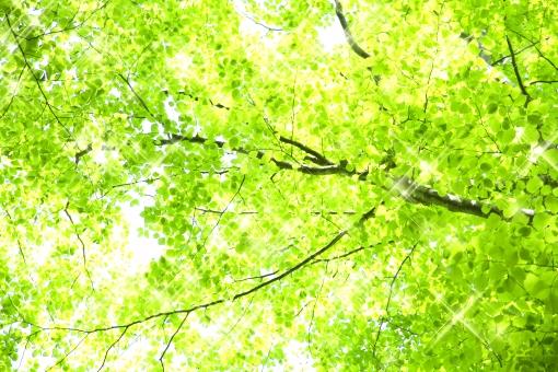 葉 樹木 ぶな 山毛欅 森林 癒し 爽やか 森林セラピー 森林浴 リラックス リラクゼーション 健康 植物 自然 風景 木漏れ日 太陽 光 輝き キラキラ 緑 グリーン