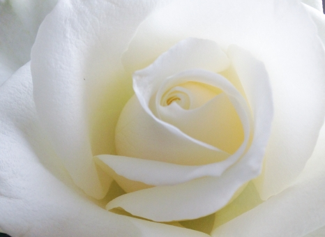 白いバラ 薔薇 ばら バラ 白 春 秋 背景 バック 壁紙 バックグラウンド 結婚式 ウェディング 恋愛 愛 エステ 美 美容 癒し 花 テクスチャ アロマ 花びら バレンタイン 母の日 植物 優雅 気品 リラックス イメージ 淡い 上品 ベージュ ブーケ 純白 純潔