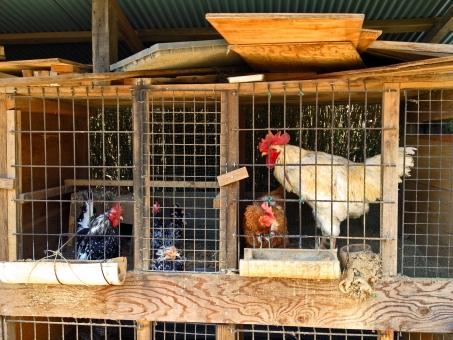 鶏小屋 にわとり 鶏 ニワトリ 鳥類 家畜 畜産 地鶏 建物 木造建築 木造 建造物 建築 建築物 動物 生き物 風景 景色 田舎 自然 鶏卵 産卵