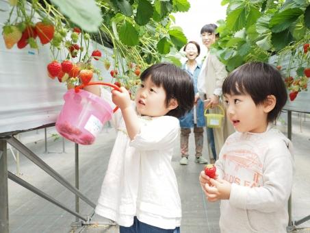 イチゴ狩りイメージの写真