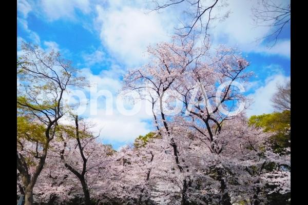 上野公園の桜並木 の写真