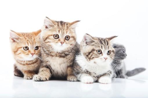 ポーズ 動物 生物 生き物 哺乳類 ほ乳類 猫 ねこ ネコ キャット 子猫 仔猫 仔ネコ 子ネコ 子ねこ 赤ちゃん スコティッシュフォールド かわいい 可愛い 集合 並ぶ 4匹 四匹 茶トラ キジトラ グレー 白背景 白バック グレーバック 複数