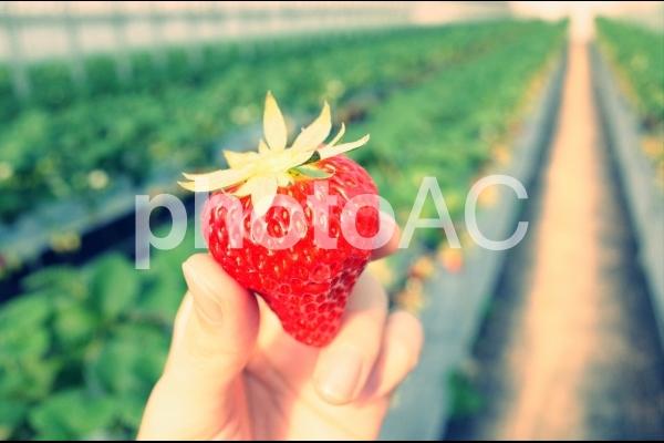 いちご農園の写真