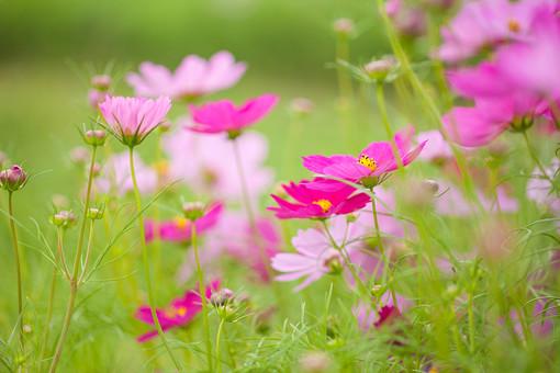 秋の風景 コスモス アキザクラ 秋桜 コスモス畑 花畑 花園 桃色 ピンク 緑 植物 花 草花 一面 満開 散歩 散策 自然 風景 景色 真心 のどか 鮮やか 美しい 綺麗 明るい ボケ味 ピントぼけ