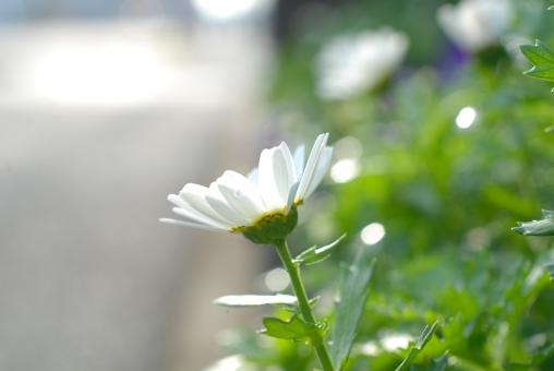 花 植物 ノースポール 白 白い花 白色 花畑 花壇 キク科 自然 文字スペース 壁紙 冬 春 初夏 12月 1月 2月 3月 4月 5月