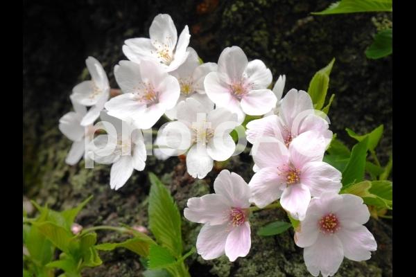 桜1の写真