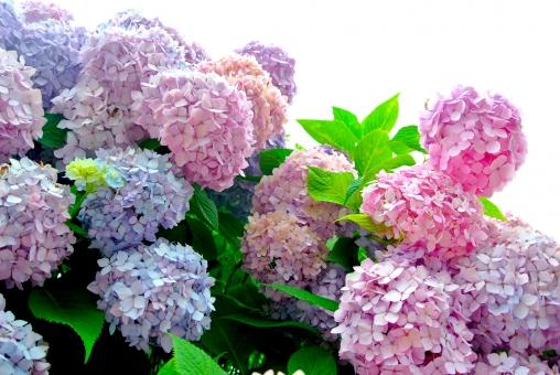 紫陽花 ピンクの花 6月 梅雨 夏の花 青紫 青 紫 淡いピンク 薄いピンク 緑 葉っぱ 満開 花束 雨 曇り 雨音 ゆかた アジサイ あじさい