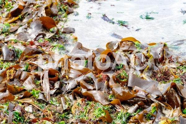 砂浜に打ち上げられた昆布の写真