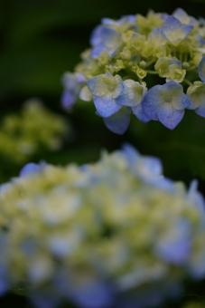 花 植物 雨 梅雨 ガーデニング 6月 雨期 湿度 余白 あじさい アジサイ 水滴 縦位置 緑 グリーン 蒼 青 ブルー 酸性 暗い 憂鬱