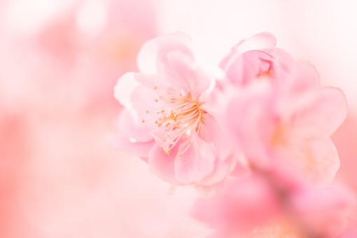 自然 植物 花 花びら ピンク色 桃色 梅 多い 沢山 密集 集まる 成長 育つ 満開 開花 咲く 開く 枝垂れ 垂れる ぼやける ピンボケ アップ 加工  天気 晴天 晴れ 無人 室外 屋外 風景 景色 春 見頃 可愛い 鮮やか 綺麗 華やか 美しい 幻想的