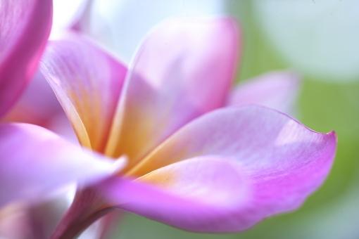 自然 植物 花 プルメリア 夏の花 夏 初夏 常夏 ハワイ ハワイアン プルメリアのレイ 花の首飾り トロピカル 南洋 バケーション 旅行 休暇 背景 テクスチャー 暑中見舞い ポストカード 光溢れる 光を浴びて 光透過光 カラフル 二人の思い出 新婚旅行 待ち受け画像 コピースペース 森林 公園 野外アウトドア ガーデン 爽やかイメージ みずみずしい 新緑 新芽 太平洋 海 フラダンス
