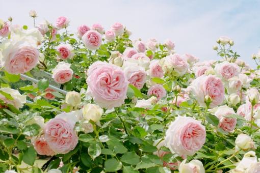 植物 自然 花 バラ ばら 薔薇 華やか 豪華 ゴージャス エレガント ローズ ローズガーデン 背景 壁紙 バラ園 薔薇園 花園 庭 公園 ブライダル ウエディング 結婚式 結婚 ピンクの花 ピンク