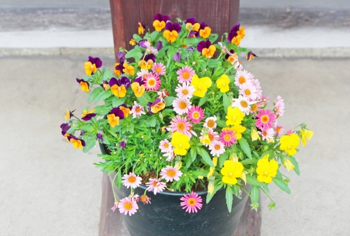 寄せ植え 鉢 鉢物 花 花壇 パンジー 緑 植物 庭 庭先 玄関 玄関先 オレンジ 黄色 はな 草 園芸 園芸種 園芸植物 プレゼント スミレ 紫 ピンク キク