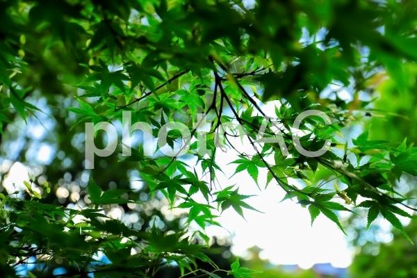 夏の京都イメージ・新緑・緑のもみじ・背景の写真