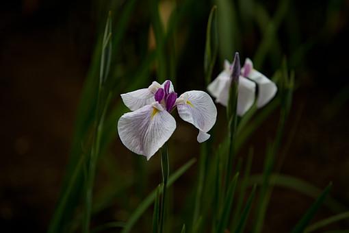 植物 花 花菖蒲 アヤメ 菖蒲 多年草 湿原 湿地 葉 白 紫 黄色 開花 初夏 6月 梅雨 アイリス イリス うれしい知らせ 優しさ 伝言 優雅 心意気 園芸 自然