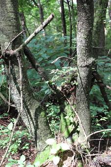 自然 風景 景色 風景 植物 木 樹木 幹 枝 枯れる 森 森林 林 葉 葉っぱ 緑 土 地面 茶色 鬱蒼 山奥 枯葉 枯木 野生 雑草 苔 日本 光 太陽 太陽光 陽射し 木漏れ日 影 無人 屋外