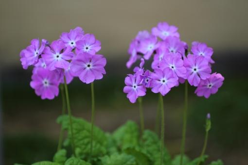 サクラソウ さくら草 日本桜草 ピンクの花 春 可愛い 清楚