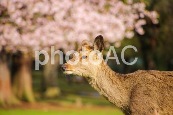 桜と鹿の写真