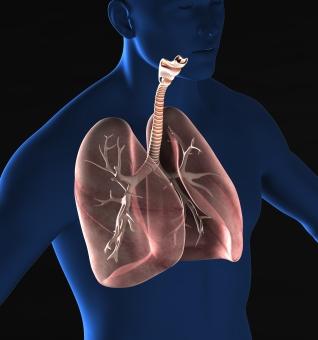 肺の解剖モデルの写真