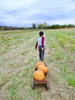かぼちゃ畑でパンプキンの収穫の写真