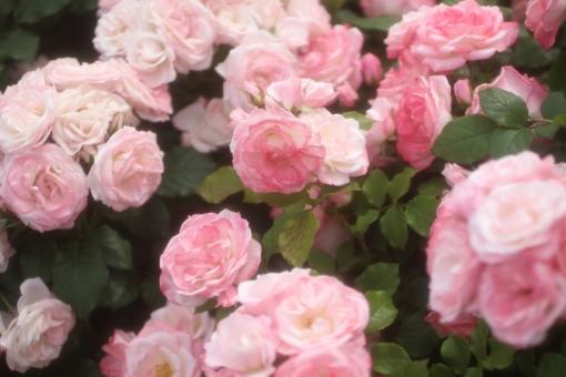 花びら 光 キラキラ 園芸 おめでとう バックグラウンド フラワー 爽やか happy birthday 背景デザイン 自然 淡い ソフト パステルカラー ナチュラル 幸せ 春 薔薇 バラ ばら プレゼント フラワーアレンジ 贈り物 ギフト お祝い 結婚 母の日 誕生日 ウェディング カード メッセージ バースディカード 背景 壁紙 花 植物 初夏 5月 記念日 メッセージカード 可愛い かわいい 優しい やわらかい バレンタイン バレンタインデー ホワイトデー 背景素材 素材 rose rosa ローズ フレーム ピンク ふんわり