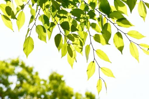 新緑 しんりょく 3月 4月 5月 6月 葉 葉っぱ 緑 黄緑 みどり きみどり 自然 綺麗 爽やか 見上げる 人気 植物 景色 樹木 新鮮 森 林 公園 グリーン 暖かい 季節 若草色 若葉 木洩れ日 木漏れ日 こもれび 明るい 気分 最高 気持ちが良い 空気 クリーン 森林浴 背景 テクスチャ 壁紙 バックグラウンド ヒーリング リラックス 癒し マイナスイオン 初夏 夏 春 リラクゼーション 涼しい セラピー エコ eco アップ 接写 至近距離