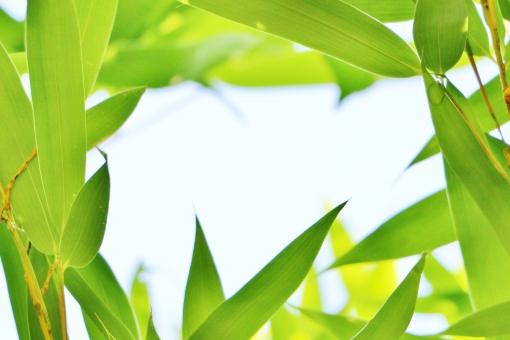 笹 笹の葉 葉 緑 緑色 green グリーン 植物 癒し 自然 風景 壁紙 背景 テクスチャ 素材 雨上がり 晴れ フレーム 額縁 四角 空間 優しさ 涼しさ 涼 さらさら サラサラ 七夕 若葉 若葉色 若々しい 青い 青い葉 青い葉っぱ fresh フレッシュ 爽やか 涼やか 緑のフレーム 葉のフレーム 笹のフレーム