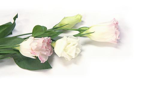 花 トルコキキョウ トルコギキョウ ユーストマ 多年草 一年草 リシアンサス 葉 葉っぱ 植物 フラワー 種子植物 花弁 花びら 生花 優美 希望 よき語らい 永遠の愛 5月 6月 7月 9月 10月 白背景 白バック ホワイトバック