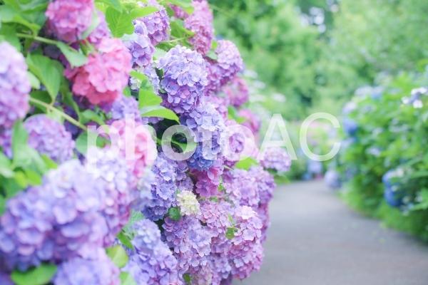 紫陽花の小径の写真