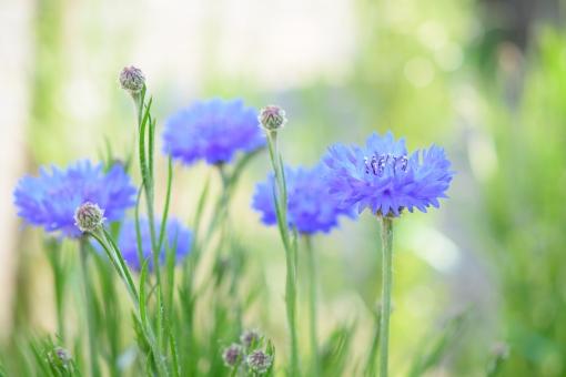 ヤグルマギク やぐるま 矢車 ヤグルマ やぐるまぎく 矢車菊 青 青い 春 春の花 春風景 蕾 花 植物 壁紙 コピースペース 文字スペース 自然 ふんわり 背景