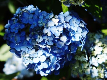 紫陽花 あじさい アジサイ 花 青 植物 陽だまり 光 水無月