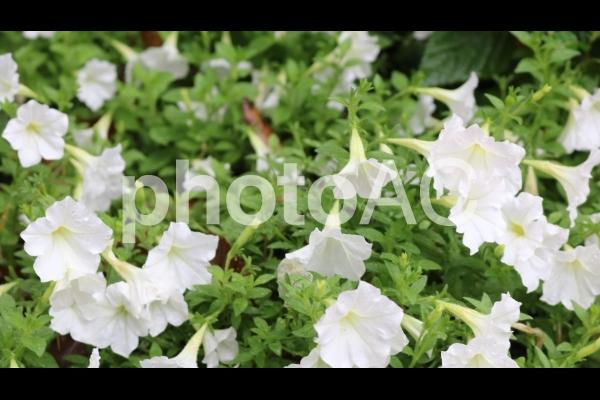 名城公園フラワーガーデン 白のペチュニアの写真