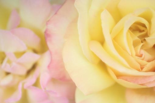 花びら 光 キラキラ 園芸 おめでとう バックグラウンド フラワー 爽やか happy birthday 背景デザイン 自然 イエロー 黄色 黄 淡い ソフト ピンク パステルカラー ナチュラル 幸せ 春 薔薇 バラ ばら プレゼント フラワーアレンジ 贈り物 ギフト お祝い 結婚 母の日 誕生日 ウェディング カード メッセージ バースディカード 背景 壁紙 花 植物 初夏 5月 記念日 メッセージカード 可愛い かわいい 優しい やわらかい バレンタイン バレンタインデー ホワイトデー 背景素材 素材 rose rosa ローズ フレーム コピースペース スペース テキストスペース